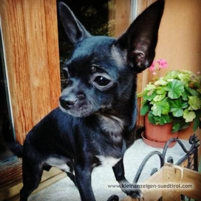 Reinrassiger Chihuahuarüde sucht neues Zuhause - thumb