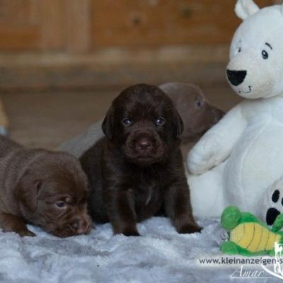Liebenswerte Labradorwelpen in silber und braun - thumb