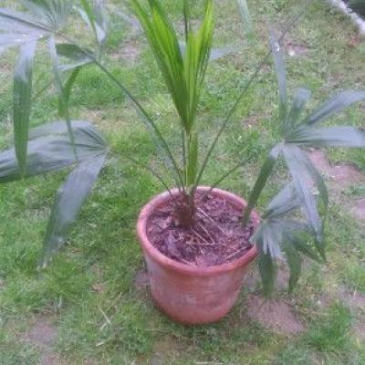 Biete: Palmen verschiedenen Größen günstig abzugeb - thumb