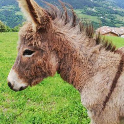 Schöner Eselhengst (9 Monate) zu verkaufen - thumb