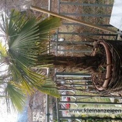 Palme für Außenbereich - thumb