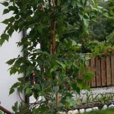 Weißbirke Kunstbaum - thumb