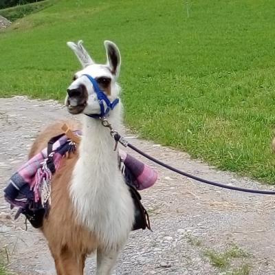 Lamas zu verkaufen. - thumb