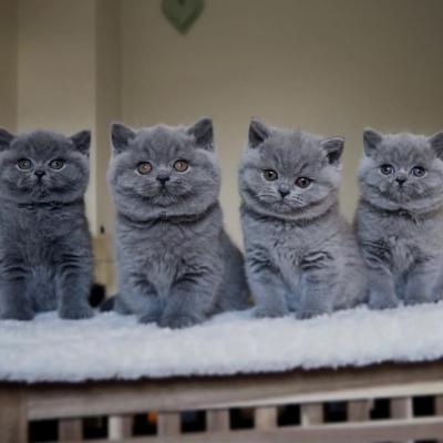 Suche BKH Katze - thumb