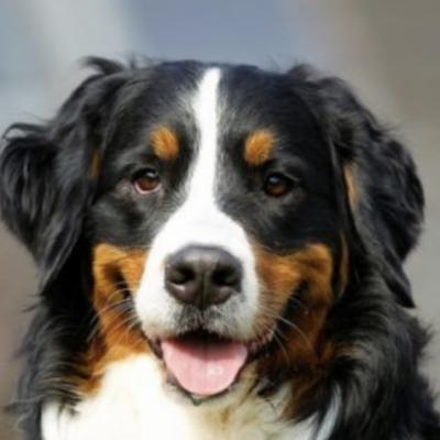 Suche Berner Sennenhund Welpe. - thumb
