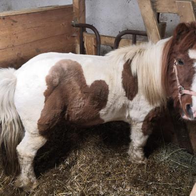 Shetland Pony - thumb