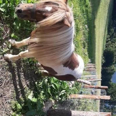 Verleihe Pony Hengst zum decken - thumb