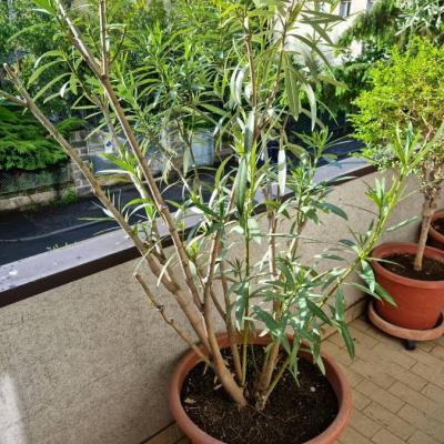Oleander im Topf - thumb