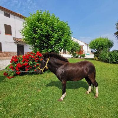 Kreuzung zwischen pony und Esel Bardotto - thumb