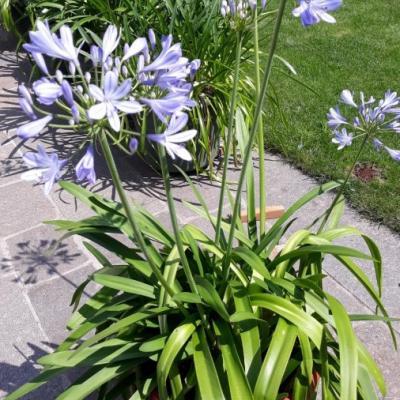 Schöne Pflanze mit dem Namen Schmucklilie mit 6,7 und 8 Blüten - thumb