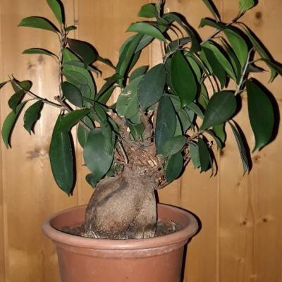 Ficus Pflanze - thumb