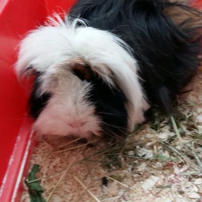 Meerschweinchen Blacky sucht Neues liebevolles Zuhause! - thumb
