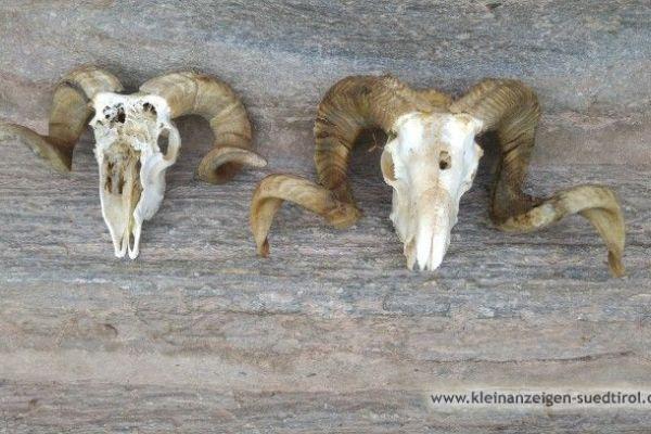 2 Schafwidder Hörner für Krampusmaske