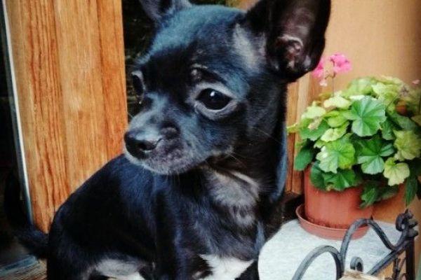 Reinrassiger Chihuahuarüde sucht neues Zuhause