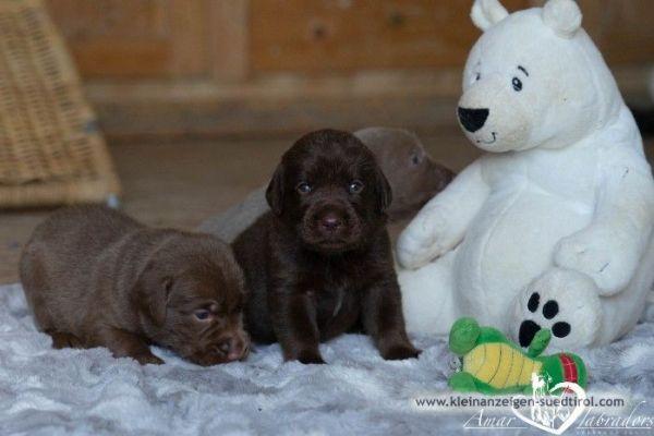Liebenswerte Labradorwelpen in silber und braun