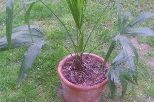 Biete: Palmen verschiedenen Größen günstig abzugeb