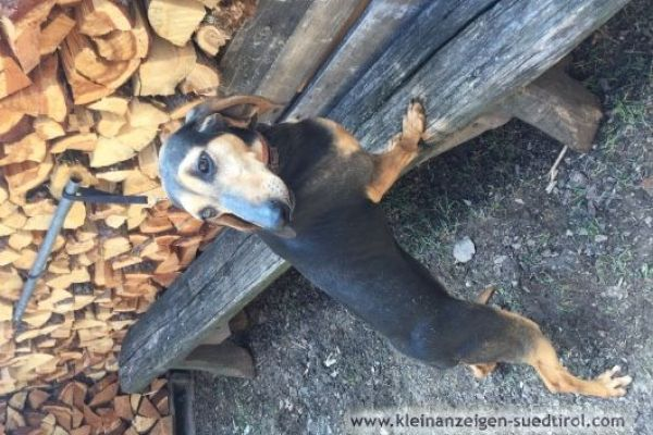 Jagdhunde zu verkaufen
