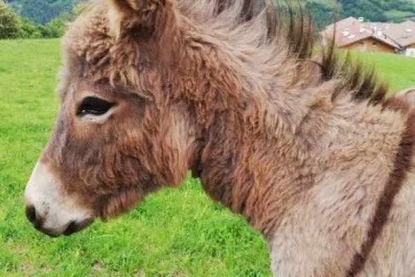 Schöner Eselhengst (9 Monate) zu verkaufen