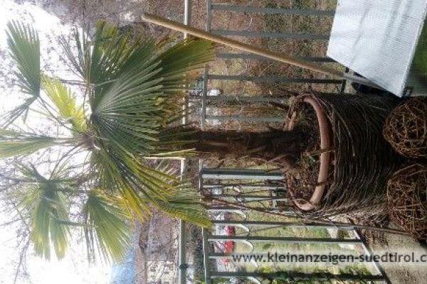 Palme für Außenbereich