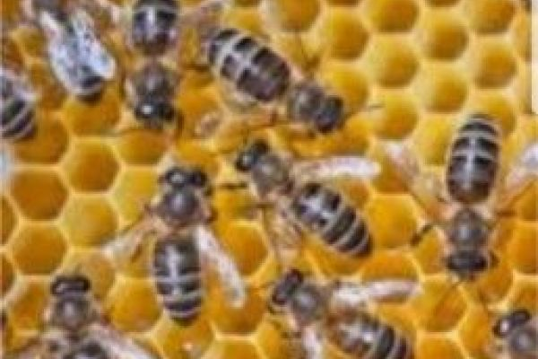 Suche Bienenvölker Carnica