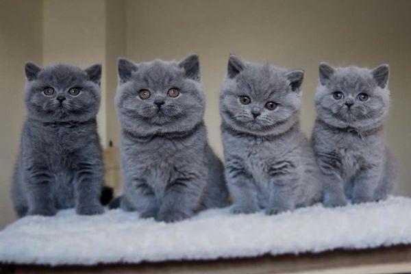 Suche BKH Katze