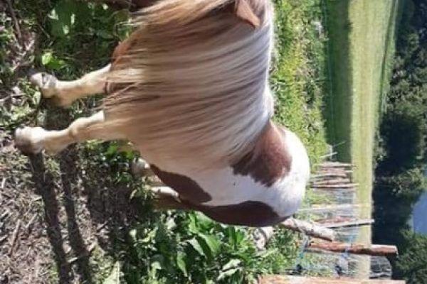Verleihe Pony Hengst zum decken