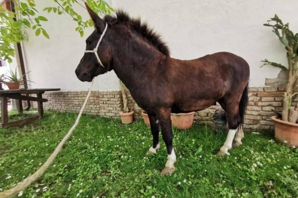 Bardotti- Kreuzung Esel und Pony