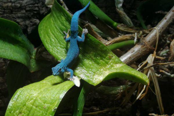 Gecko Lygodactylus Williamsi