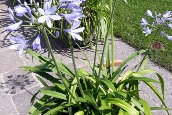 Schöne Pflanze mit dem Namen Schmucklilie mit 6,7 und 8 Blüten