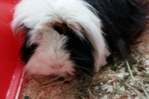 Meerschweinchen Blacky sucht Neues liebevolles Zuhause!