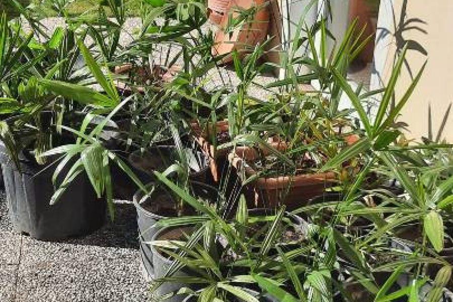 Palmen zu verkaufen - Bild 1